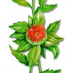 As propriedades medicinais da Açafroa