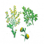 As propriedades medicinais do Absinto