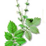 As propriedades medicinais da Agrimónia