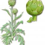 As propriedades medicinais da Alcachofra
