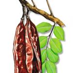 As propriedades medicinais da Alfarrobeira