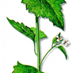 As propriedades medicinais da Aliária