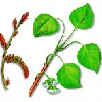 As propriedades medicinais do Choupo-negro