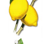 As propriedades medicinais do Limoeiro