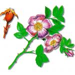 As propriedades medicinais da Rosa-canina