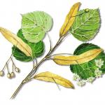 As propriedades medicinais da Tília