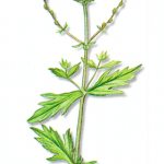 As propriedades medicinais da Verbena
