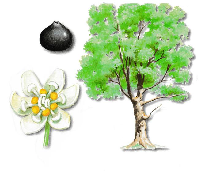 As propriedades medicinais da Canforeira