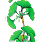 As propriedades medicinais do Ginkgo