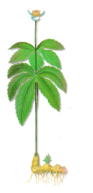 As propriedades medicinais do Hidraste