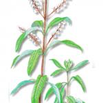 As propriedades medicinais da Lúcia-lima