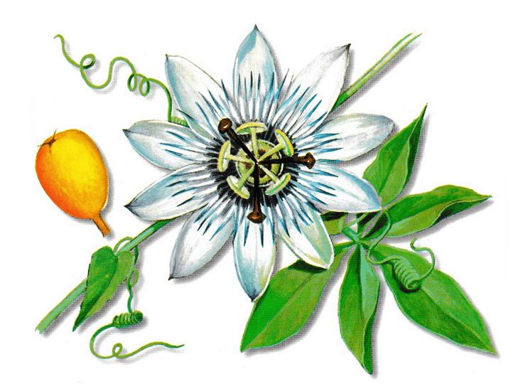 As propriedades medicinais da Passiflora
