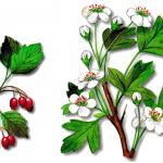 As propriedades medicinais do Pilriteiro