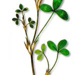 As propriedades medicinais do Trevo-dos-prados