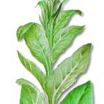 As propriedades medicinais do Verbasco