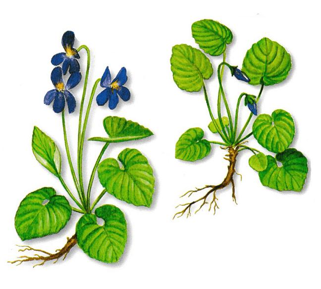 As propriedades medicinais da Violeta