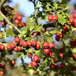 Pirliteiro – Plantas Medicinais