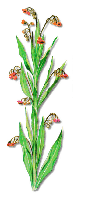 As propriedades medicinais da Cinoglossa