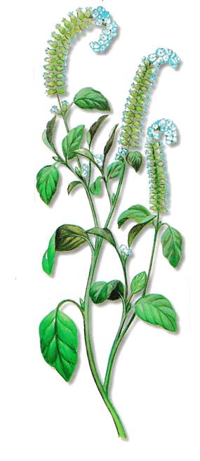 As propriedades medicinais do Tornassol