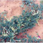 As propriedades medicinais do Harpagófito