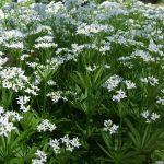As propriedades medicinais da Aspérula-odorífera