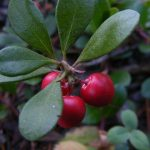 As propriedades medicinais da Uva-ursina