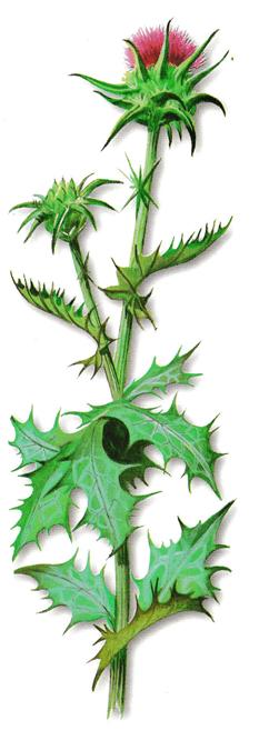 As propriedades medicinais do Cardo-de-santa-maria