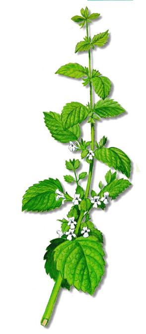 As propriedades medicinais da Erva-cidreira