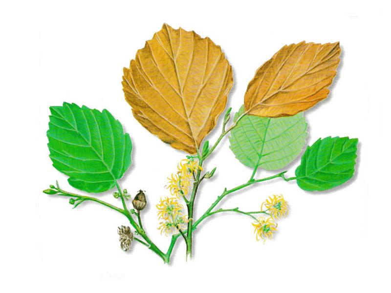 As propriedades medicinais da Hamamélia