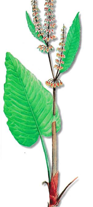 As propriedades medicinais da Labaça