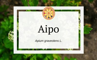 Aipo – Apium graveolens L.