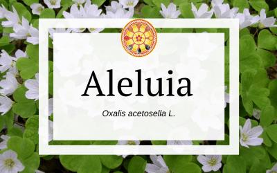 Aleluia – Oxalis acetosella L.
