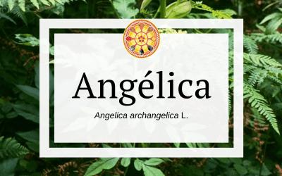 Angélica – Angelica archangelica L.