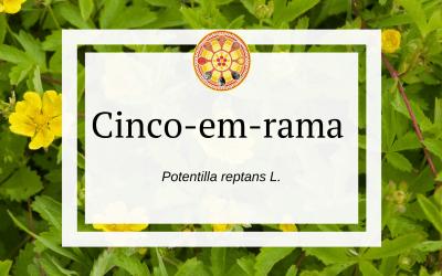 Cinco-em-rama (Potentilla reptans L.)